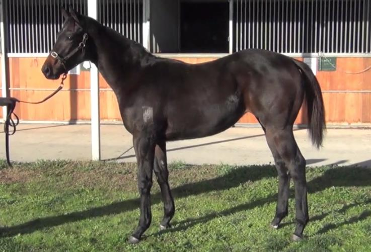 '18 Cottesmore filly - purchased for $145,000