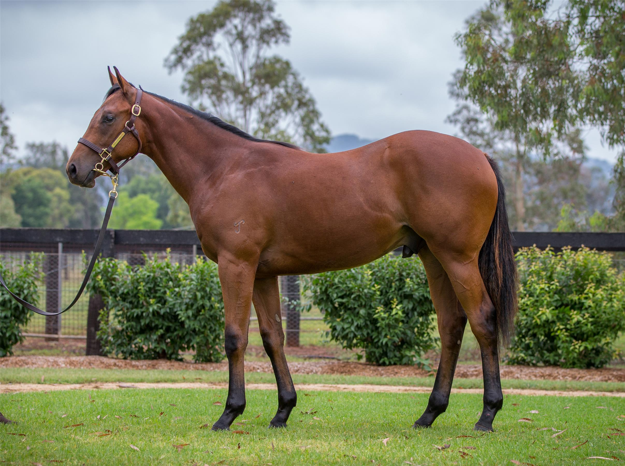 Snow Flight 17 - Sold for $300,000 at Magic Millions Gold Coast Yearling Sale