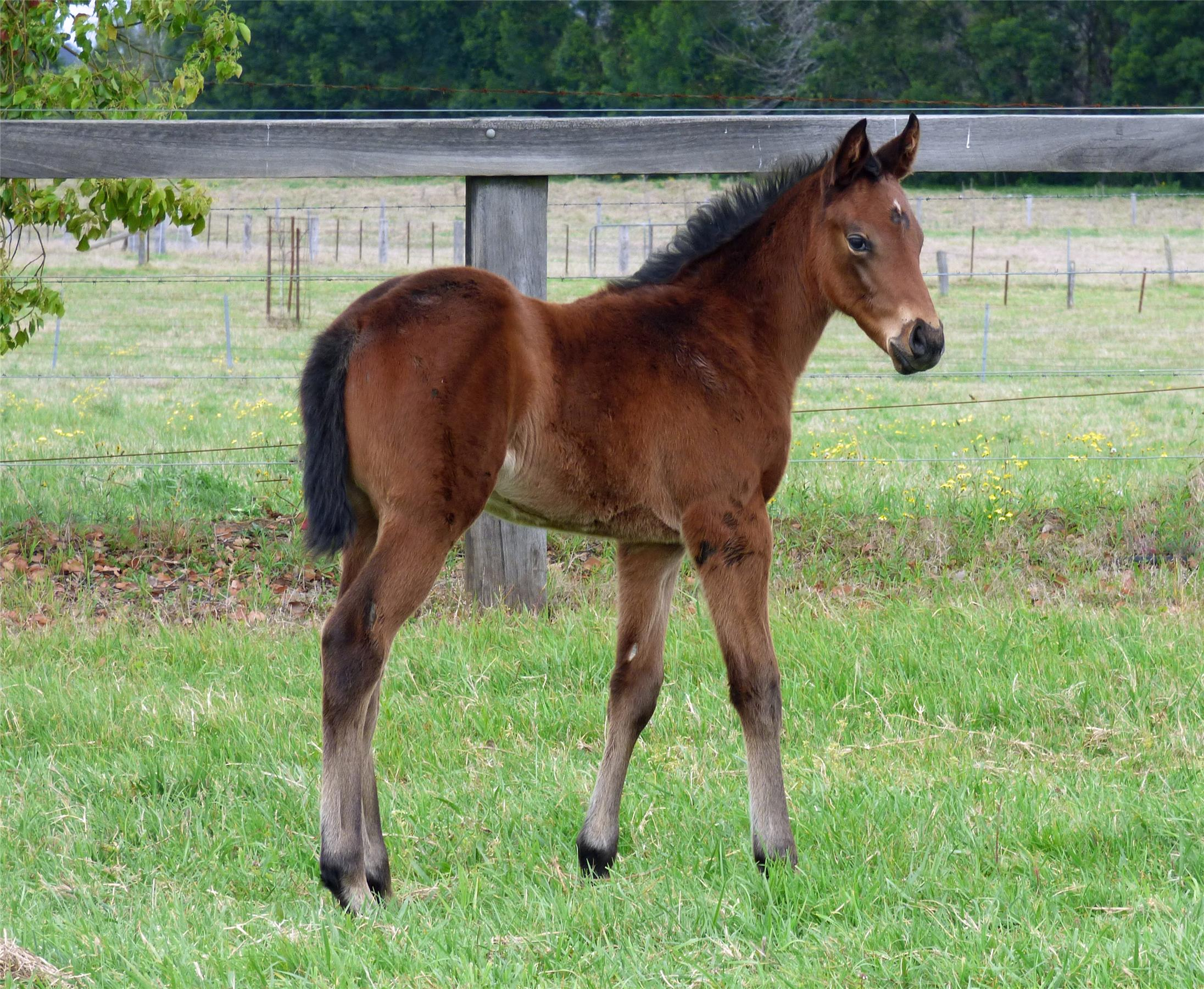 Filly out of Pink Siris